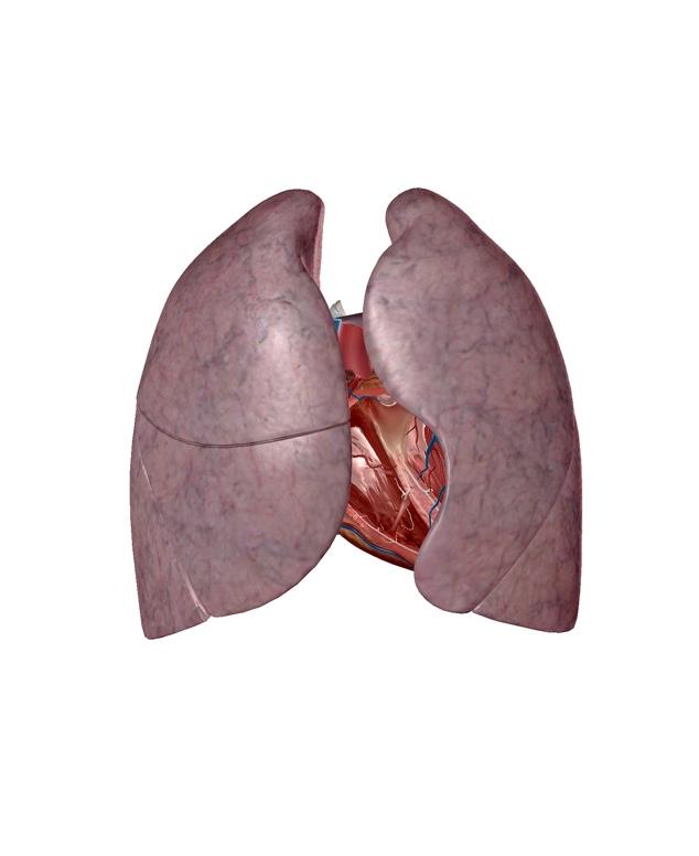 左右の肺の解剖イラスト