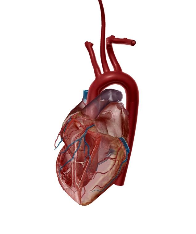 大動脈弓のイラスト