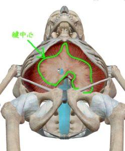 横隔膜の腱中心の解剖イラスト