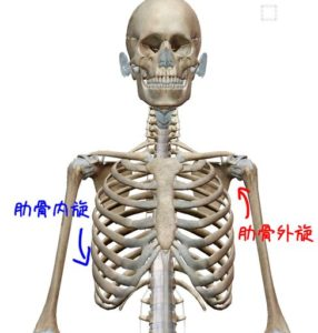肋骨の動きの説明イラスト