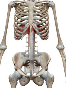 横隔膜の解剖イラスト