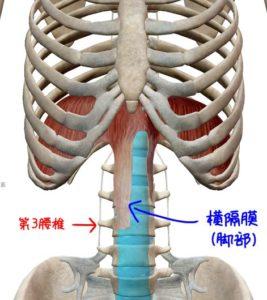 横隔膜の脚部の解剖イラスト