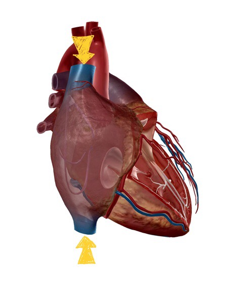右心房の解剖イラスト