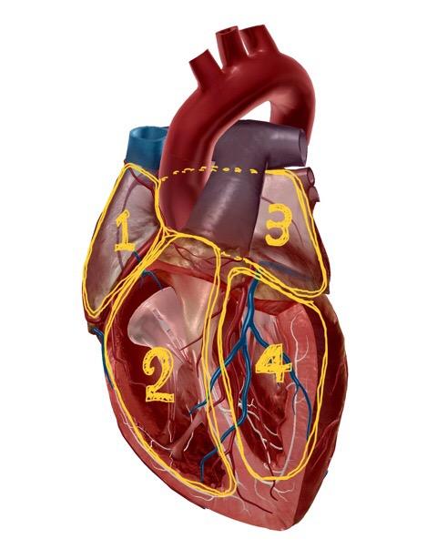 心房と心室の解剖イラスト