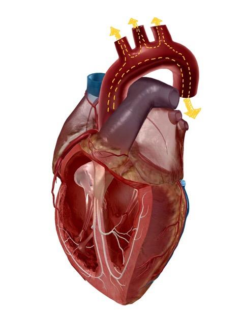 心臓と胸大動脈のイラスト