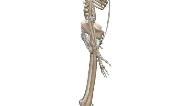 全身の骨格