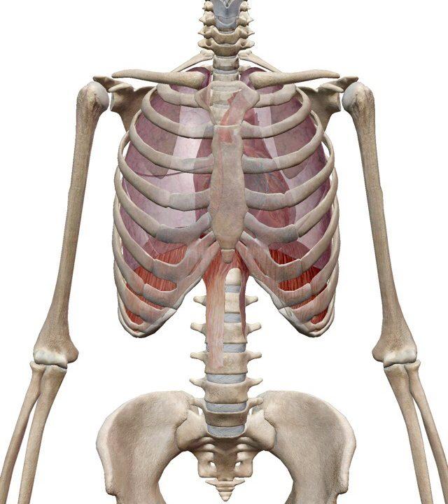 胸郭の役割