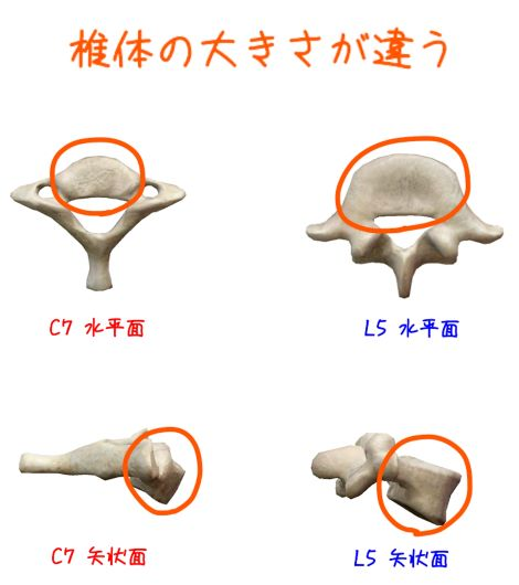 椎骨の違いの解剖イラスト