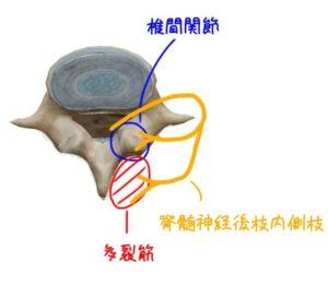 椎間関節の支配神経の解剖イラスト