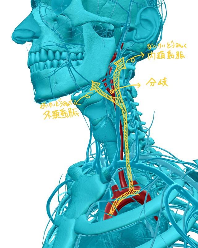 総頚動脈のイラスト