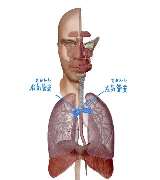 左右気管支