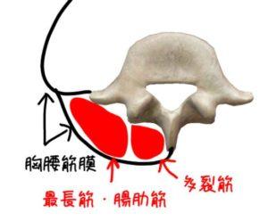 多裂筋、最長筋、腸肋筋の解剖イラスト