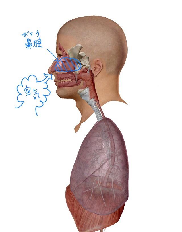 鼻腔のイラスト