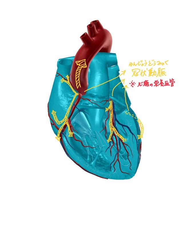 冠状動脈のイラスト