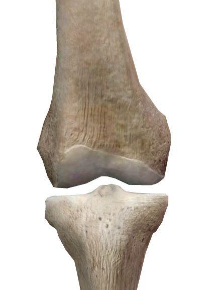 膝関節の解剖イラスト