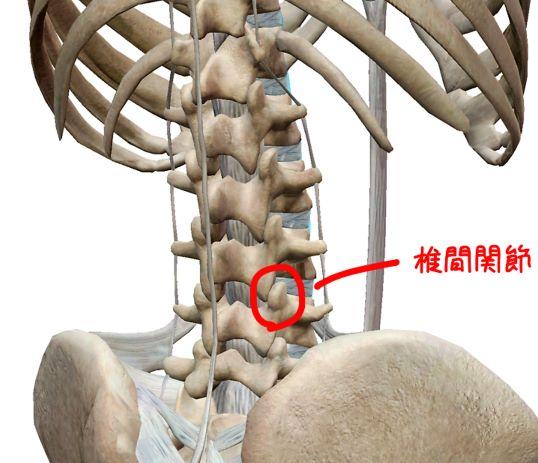 腰椎の椎間関節の解剖イラスト
