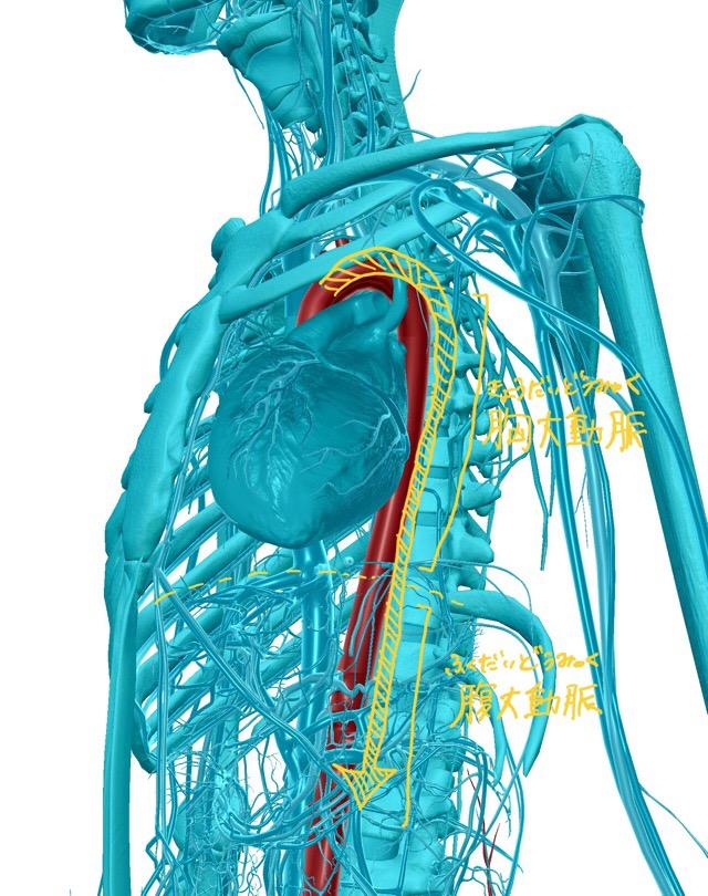 下行大動脈のイラスト