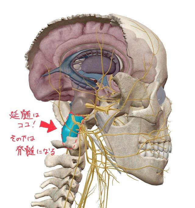 延髄の位置の詳細