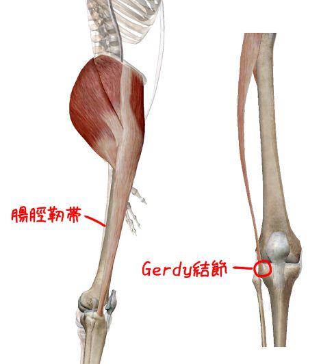 腸脛靭帯の解剖イラスト