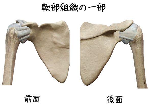 肩甲上腕関節の軟部組織