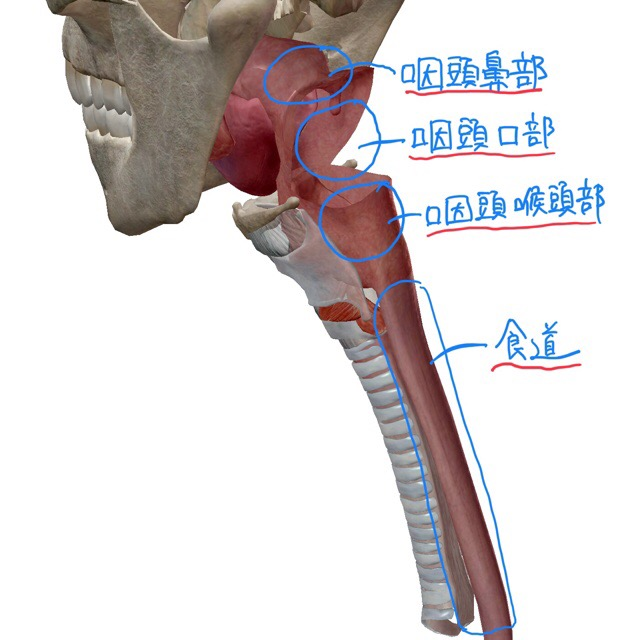 咽頭 食道