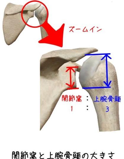 肩甲骨関節窩と上腕骨頭比
