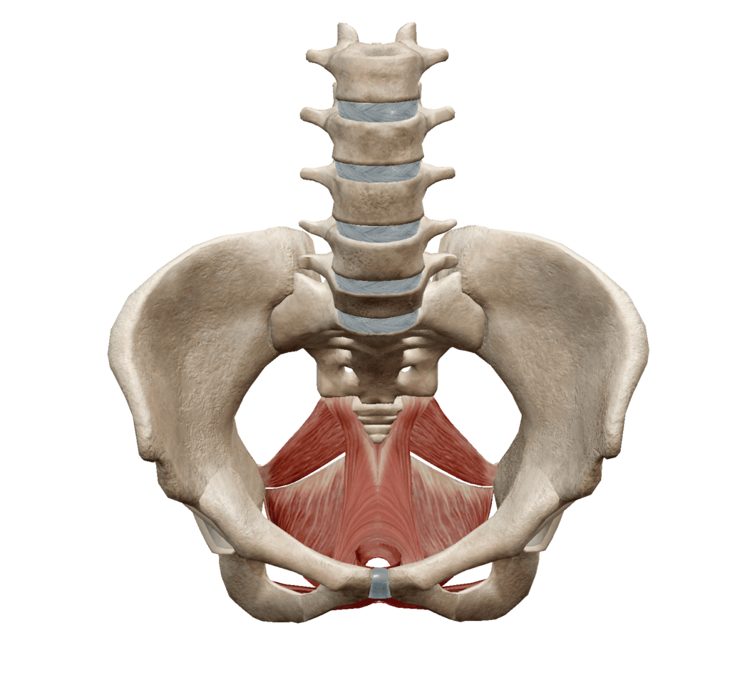 骨盤底筋群の解剖図