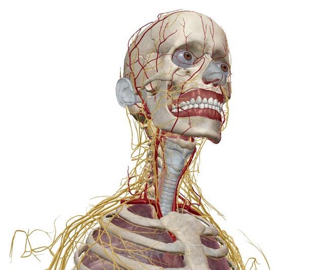 上半身 神経系