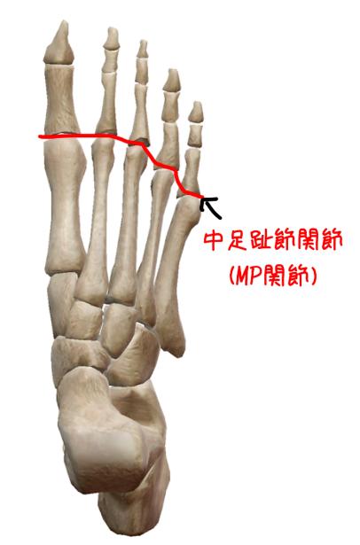 中足趾節関節の解剖図