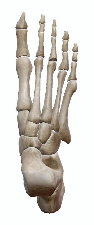 足部の骨のイラスト