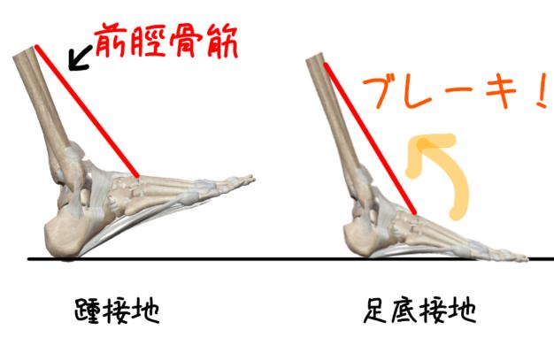 前脛骨筋のブレーキ作用のイラスト