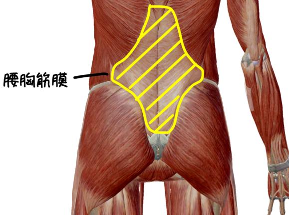 胸腰筋膜の解剖イラスト