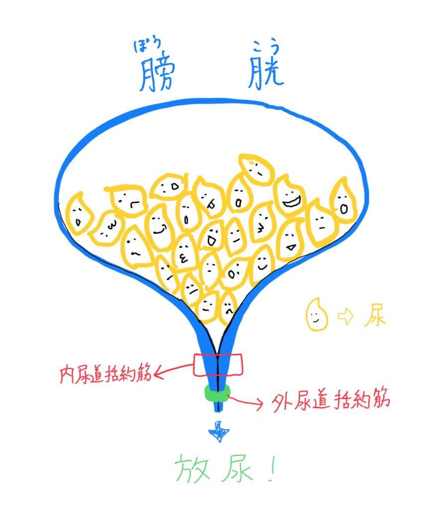 膀胱と尿道括約筋のイラスト