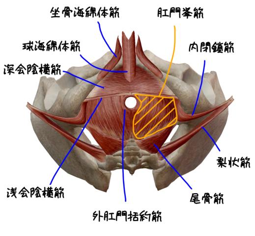 骨盤底筋群の解剖イラスト