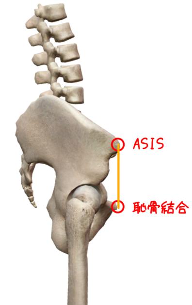 ASISと恥骨結合のイラスト