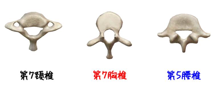 頚椎、胸椎、腰椎の違いのイラスト