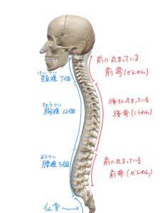 脊柱の生理的弯曲のイラスト