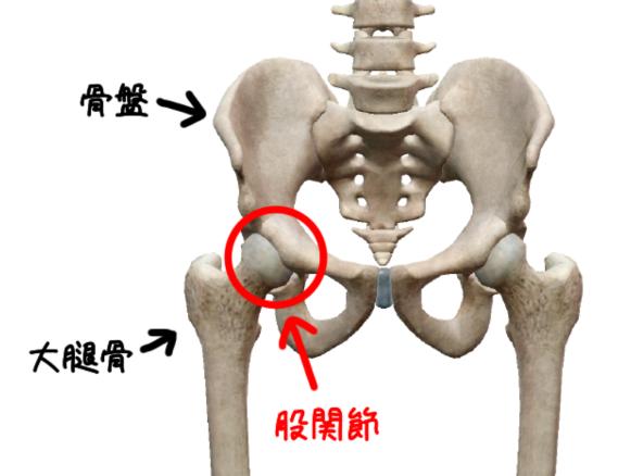 股関節の解剖イラスト