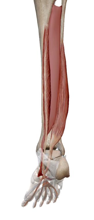 後脛骨筋、長趾屈筋、長母趾屈筋の解剖イラスト