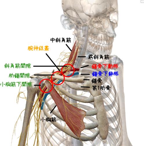 胸郭出口部分の解剖イラスト