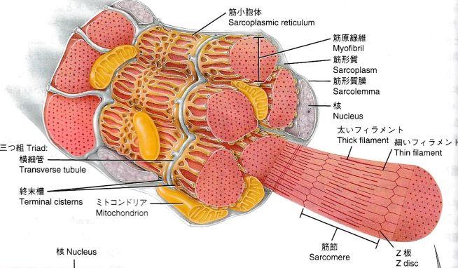 骨格筋の構造のイラスト