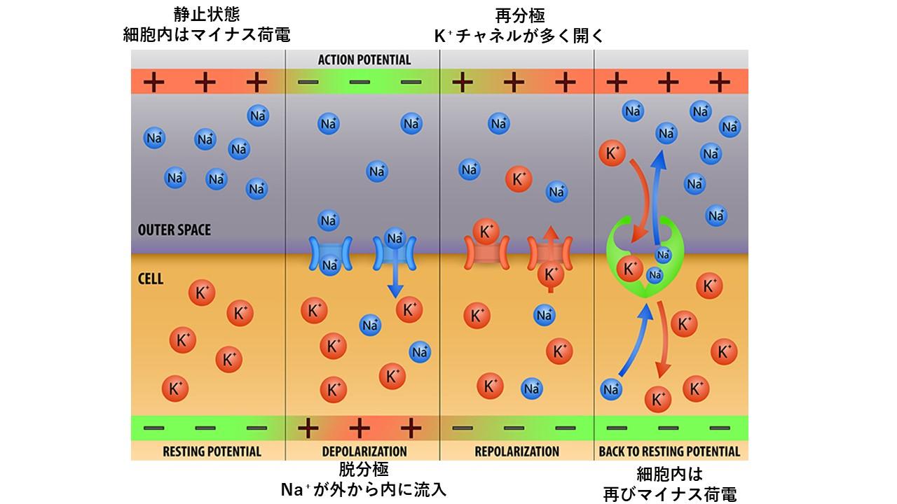 ニューロンの電位変化のイラスト