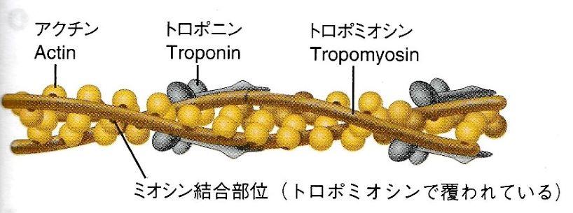 アクチン、ミオシン、トロポニン、トロポミオシンのイラスト