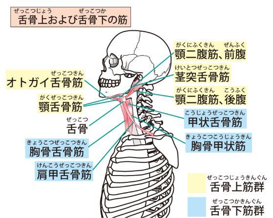舌骨上筋と舌骨下筋の解剖図