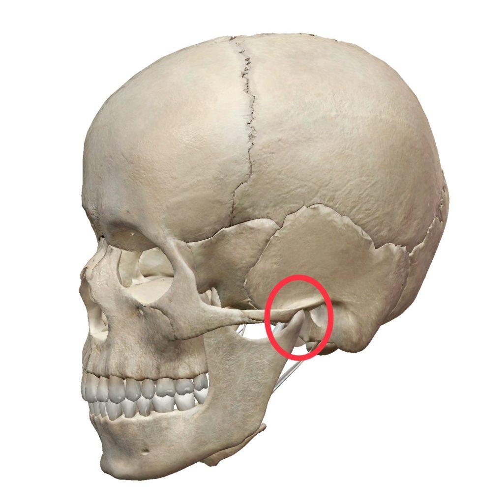 顎関節の位置の解剖図