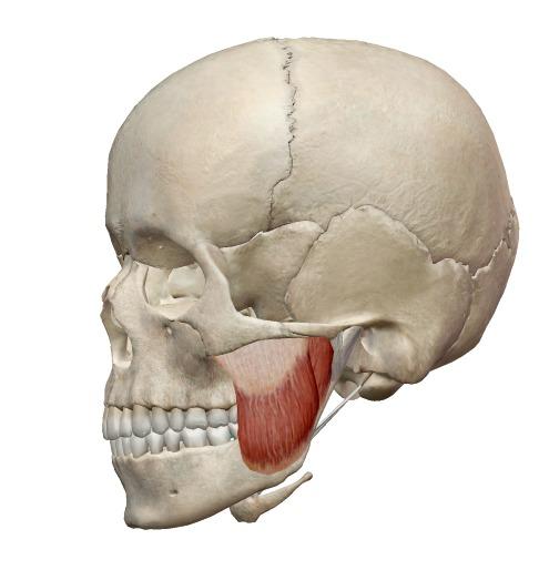 咬筋の解剖図