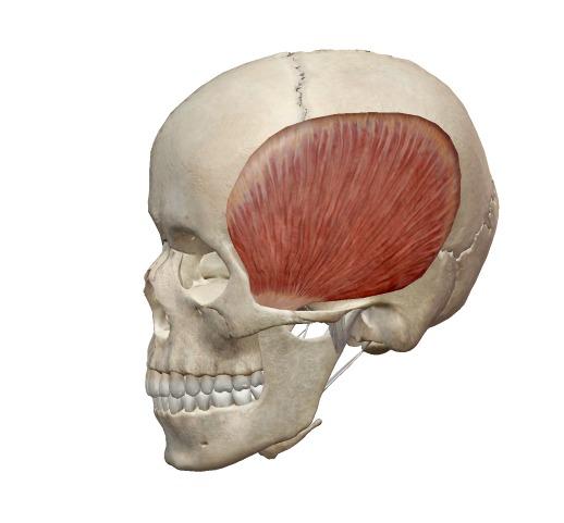 側頭筋の解剖図