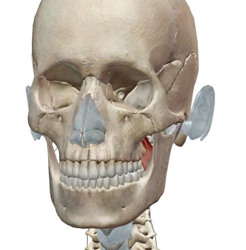 内側翼突筋の解剖図