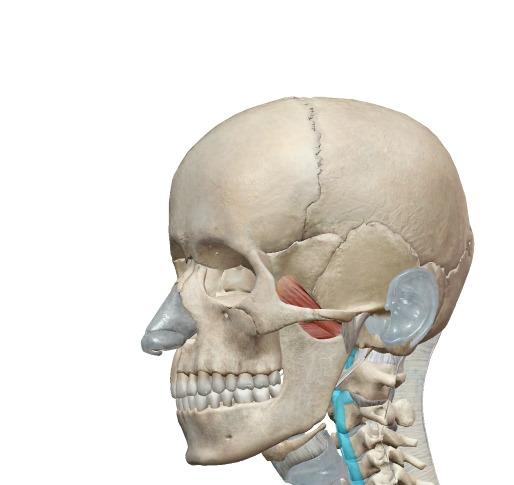外側翼突筋の解剖図