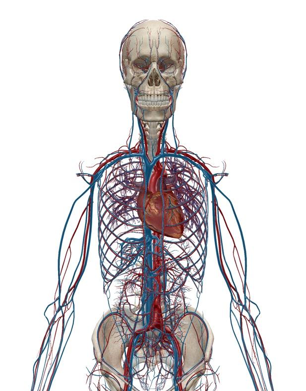 心臓や血管のイラスト